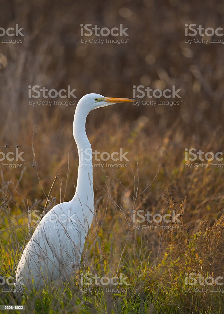 Great egret in the wild in North California stock photo