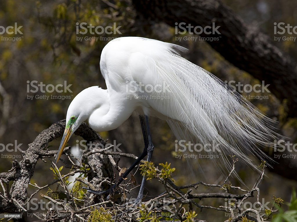 Great Egret in Tree royalty-free stock photo