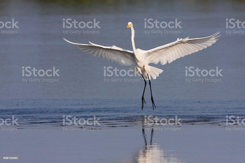 Great egret (Ardea alba) landing, Ding Darling NWR, Florida, USA stock photo