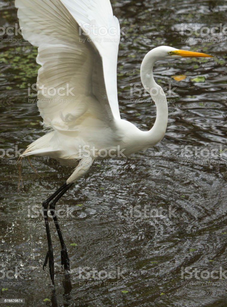 Great egret lifting off from the water in Florida's Everglades. royalty-free stock photo