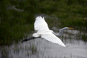 A Great Egret, Ardea alba, lifts off from a marsh in the Assateague Island National Seashore life of the marsh natural area,