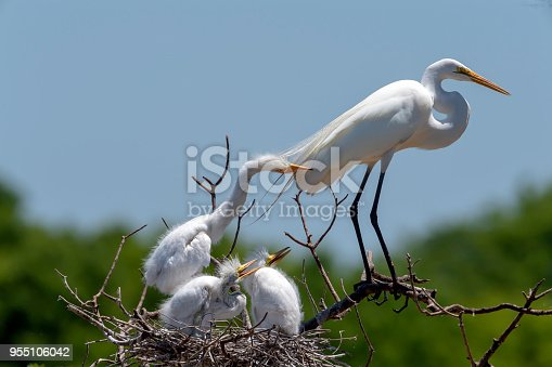 A Great Egret (Ardea alba) chick bites its parent at a nest in High Island, Texas.