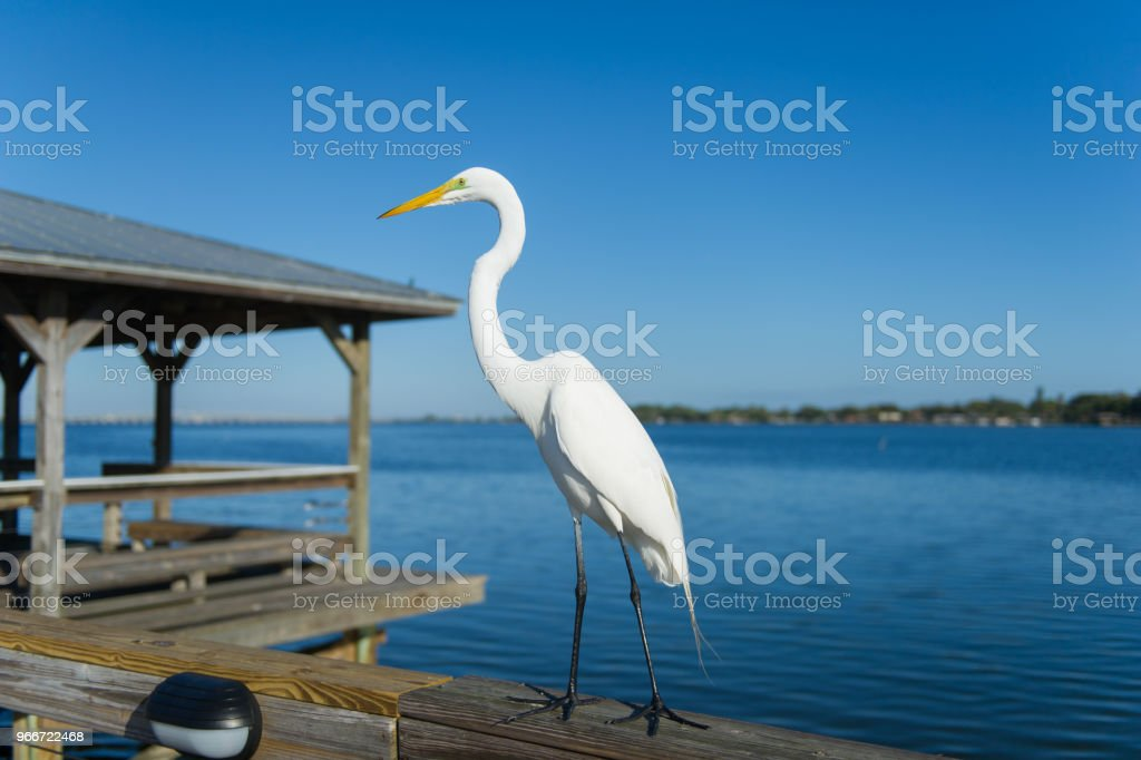 Great Egret on a fishing pier stock photo