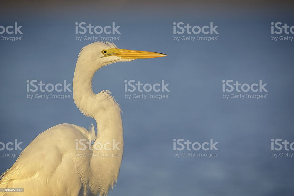 Great egret on blue royalty-free stock photo