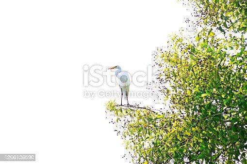 Great Egret on fruit tree.
