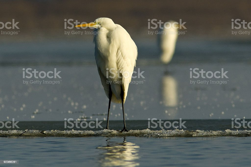 Great egret on ice royalty-free stock photo