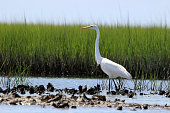 Elegant Great Egret Walks along oyster bed at Rachel Carson Nature Preserve in Beaufort, North Carolina USA. Also called Great White Egret.
