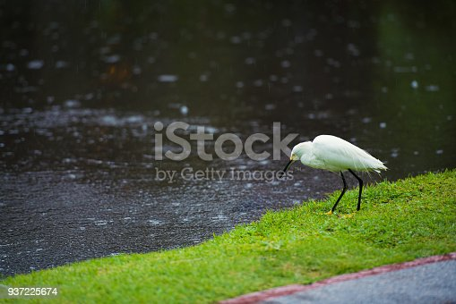 Great Egret on the background of a green grass.