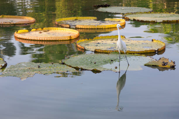 Great Egret on Victoria Regia . Great Egret on Victoria Regia . victoria water lily stock pictures, royalty-free photos & images