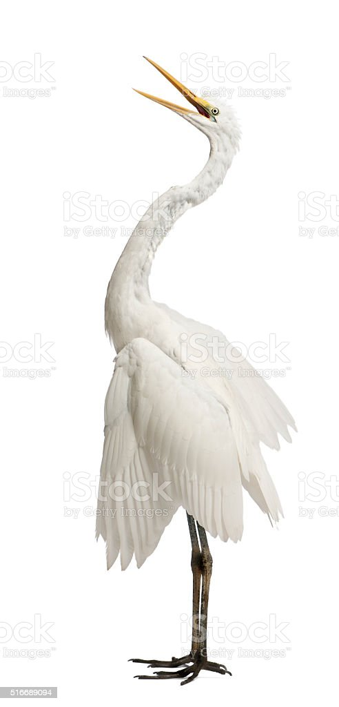 Great Egret or Great White Egret or Common Egret standing stock photo