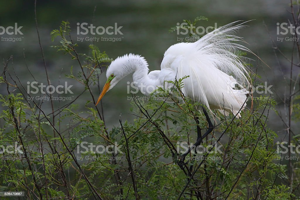 Great Egret Perched at Texas Rookery stock photo