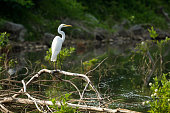 Great egret along the shore of Cherokee Lake in Eastern Tennessee.