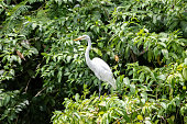 Great Egret of the species Ardea alba