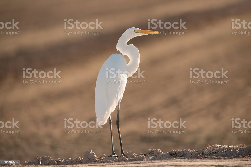 Great Egret - Royalty-free 2015 Stock Photo