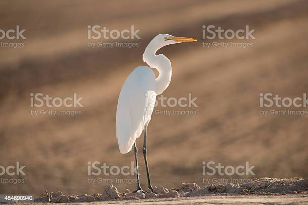 Great Egret Stock Photo - Download Image Now