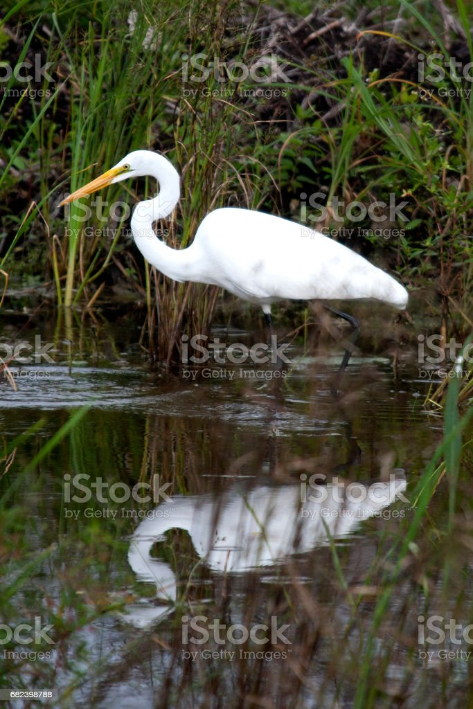 Grande aigrette  photo libre de droits
