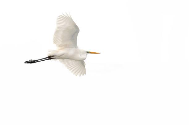 büyük ak balıkçıl (ardea alba) - balıkçıl stok fotoğraflar ve resimler
