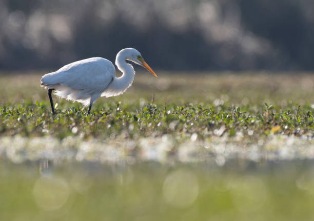 Great egret Great egret water bird stock pictures, royalty-free photos & images