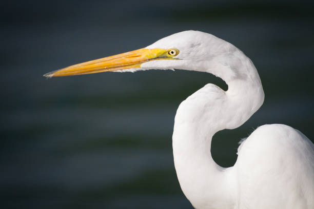 great egret - wildlife conservation stock photos and pictures