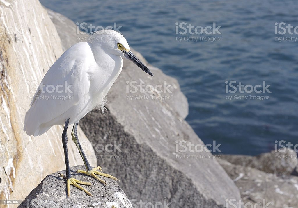 Great Egret royalty-free stock photo