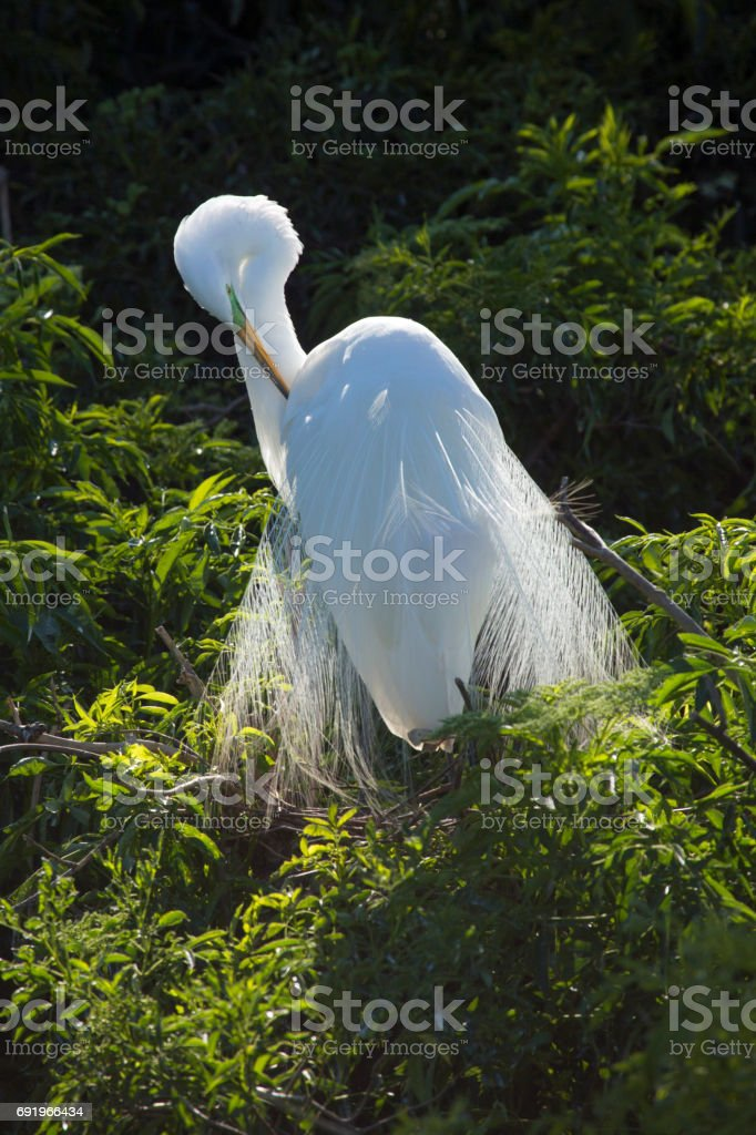Great egret preening breeding plumage in a Florida rookery. stock photo