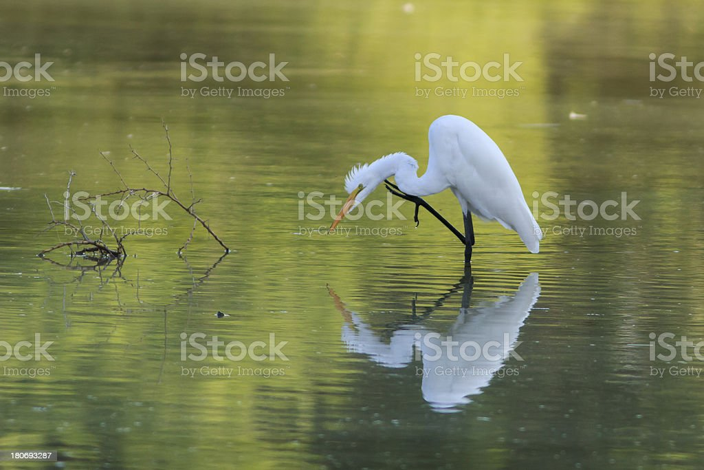 Great Egret Scratching royalty-free stock photo