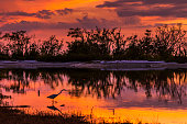 Great Egret (Ardea alba) silhouetted in a lagoon at sunset - Estero Island, Florida