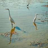 Three wading birds, a great egret, a snowy egret, and a little blue heron stand in the shallow, muddy marsh waters of Armand Bayou in Bay Area Park in Pasadena, Texas.
