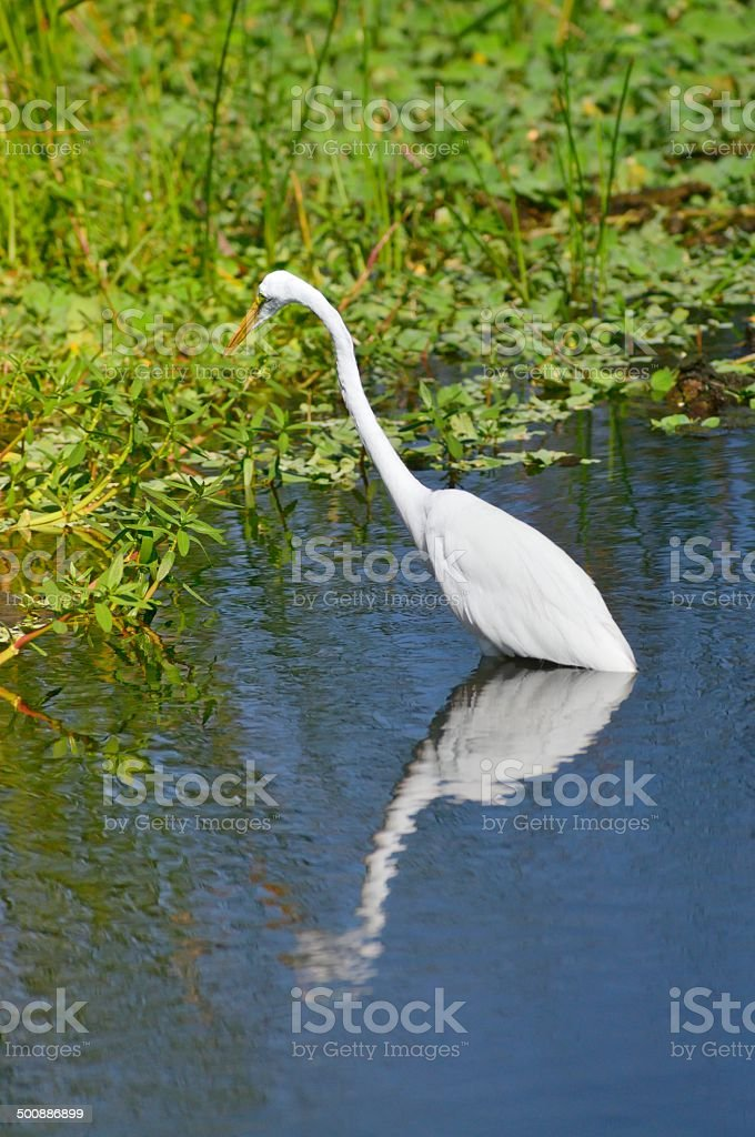 Great Egret Stalking stock photo