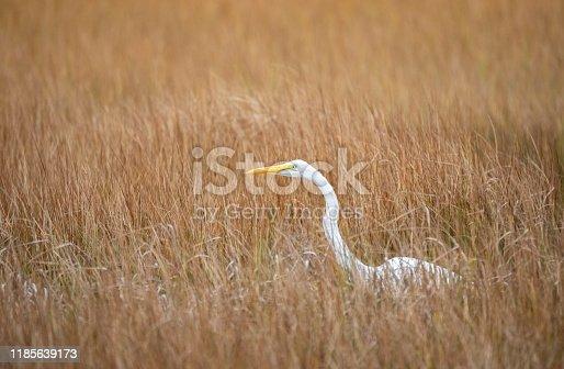 Great Egret, Ardea alba, Parker River Wildlife Sanctuary, Plum Island, Massachusetts