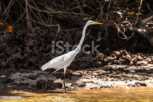 Great Egret walking in Daintree river waters
