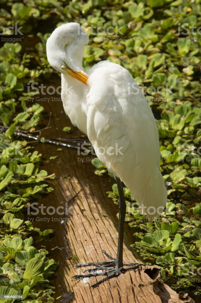 Great egret standing on a log preening its feathers, Florida. stock photo