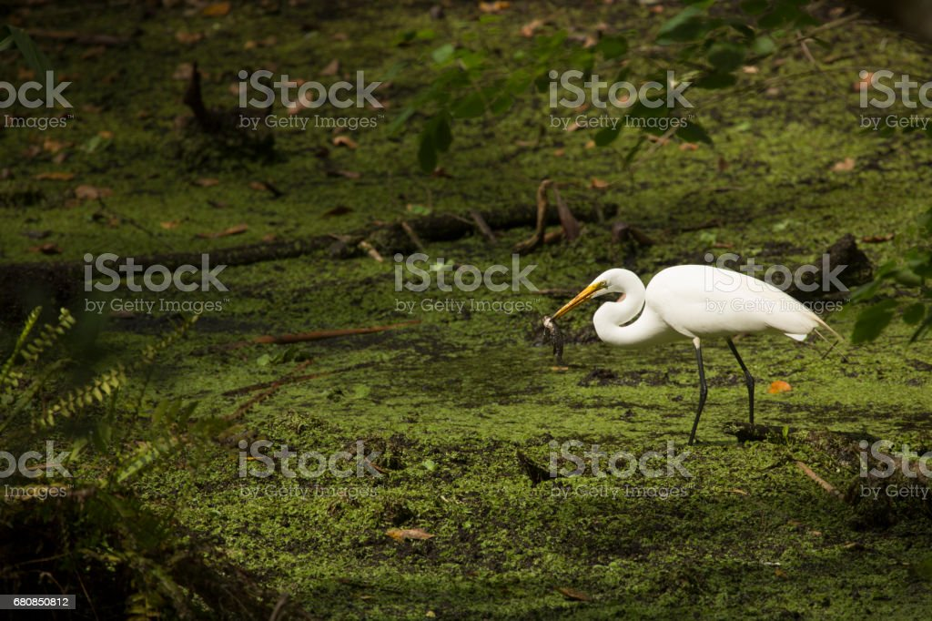 Great egret standing with a fish in its bill, Florida. stock photo