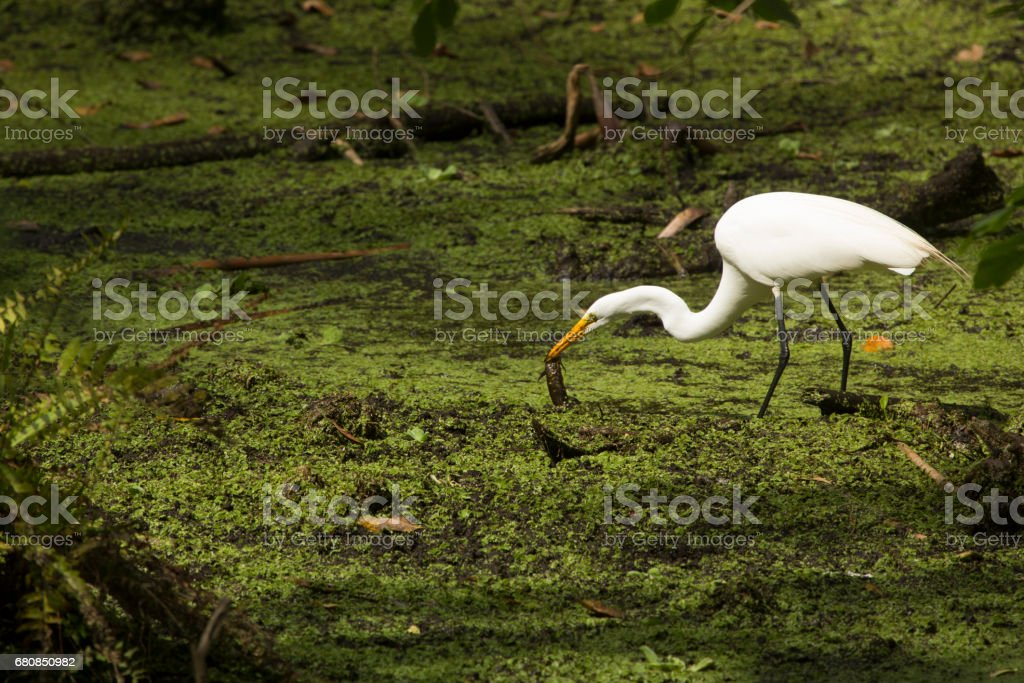 Great egret standing with a fish in its bill, Florida. royalty-free stock photo