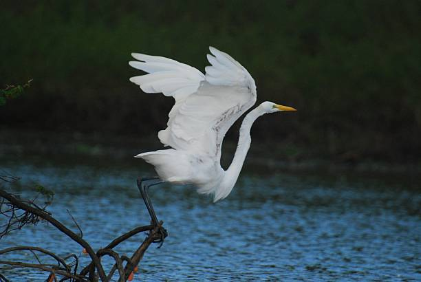 Great Egret Taking Off at Crooked Tree – Foto