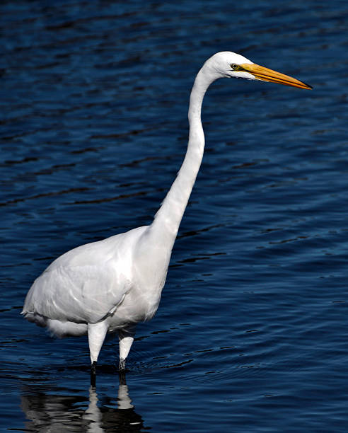 Great Egret wading in the afternoon sun 1 Great egret wading on the shoreline, in the afternoon sun. neilliebert stock pictures, royalty-free photos & images