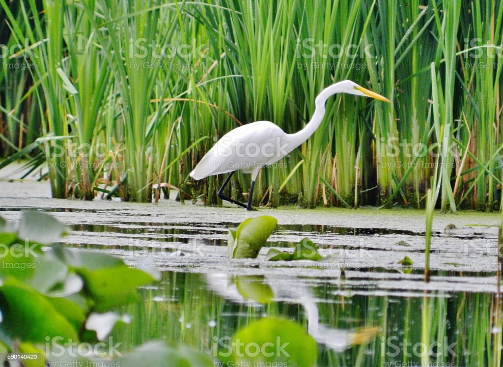 Great Egret waiting for food. stock photo