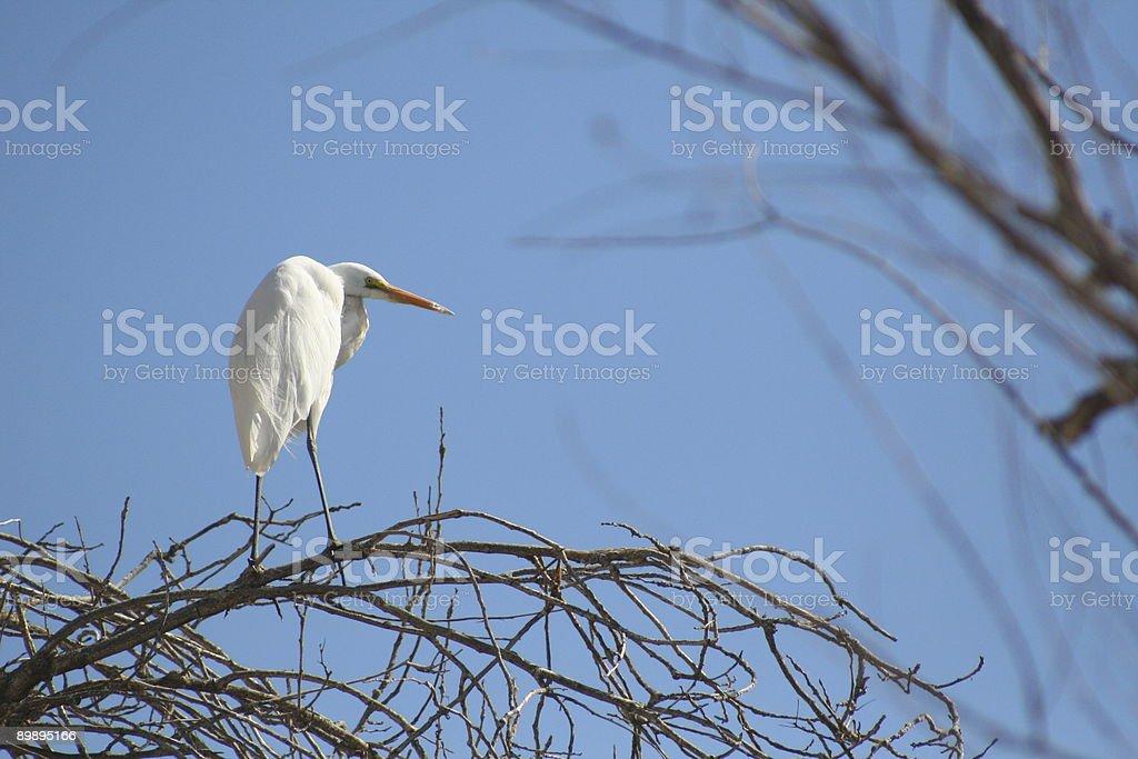 Большая белая цапля, заповедник Стоковые фото Стоковая фотография