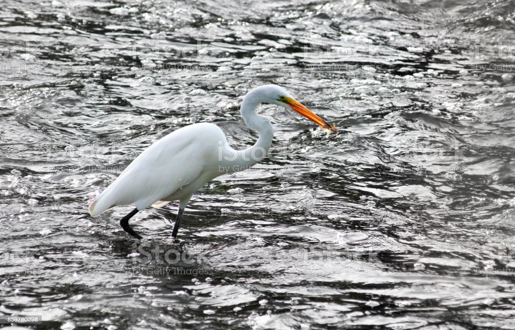 Great Egret with Catch stock photo