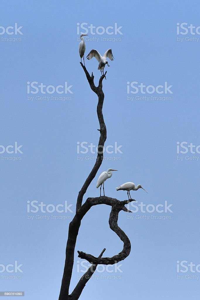 Great Egrets and Royal Spoonbills on dead tree stock photo