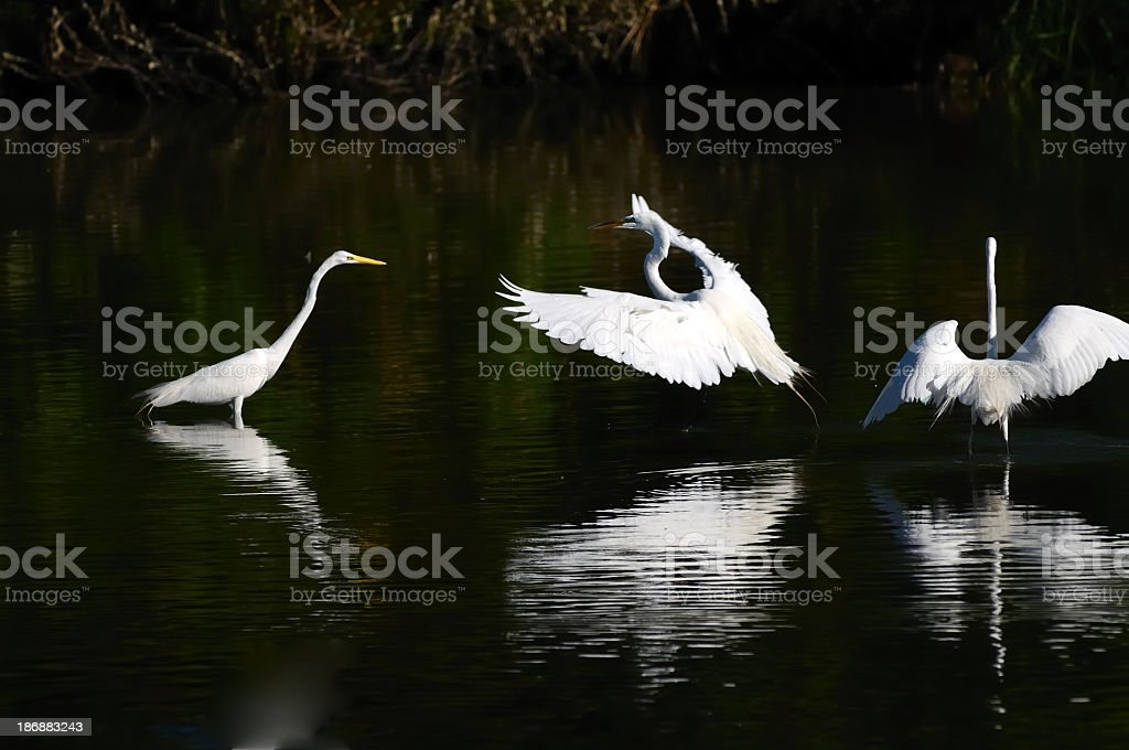 Great Egrets Ardea alba Ballet stock photo
