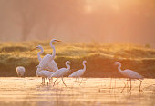 Great Egret fishing at Sunrise