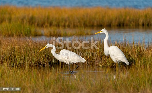 istock Great Egrets Foraging in a Marsh 1291011010