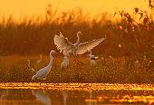 great egret landing at sunrise time in a pond