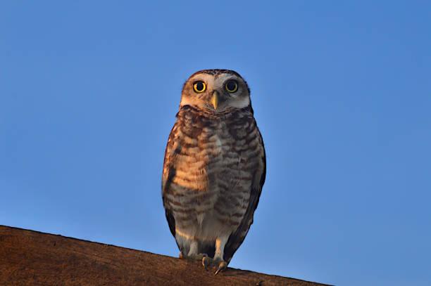 Great eyes burrow owl watching curiously picture id1257966250?b=1&k=6&m=1257966250&s=612x612&w=0&h=hjyfoub2wf32zwpcsmli8r wbxr6tafw3pztnm yack=