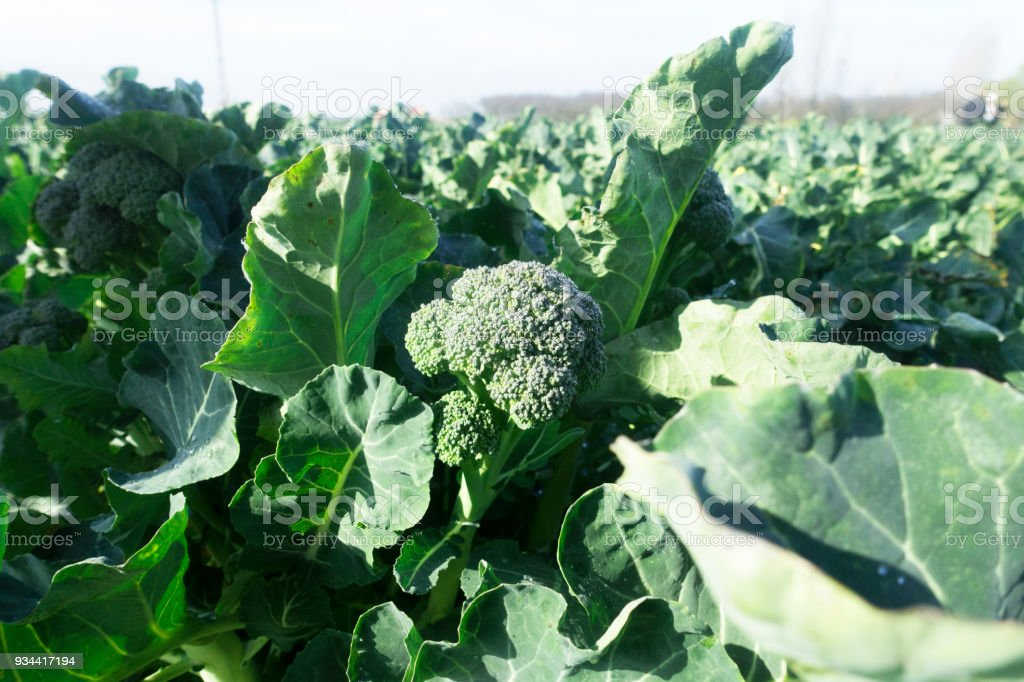 Great field of broccoli stock photo