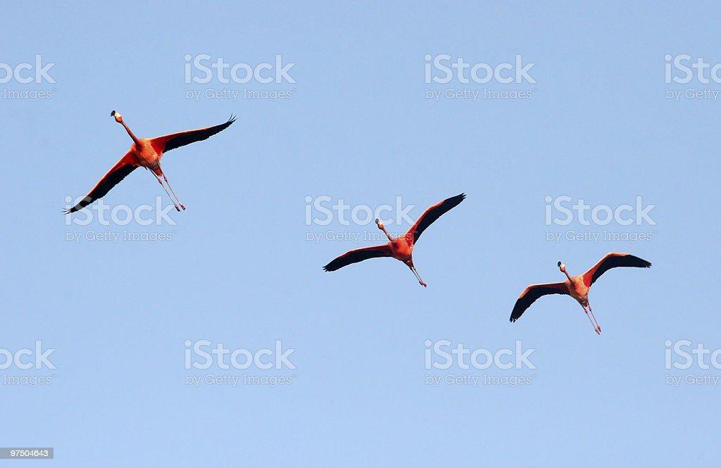 Great Flamingos royalty-free stock photo