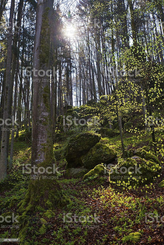 Great Forest with morning sun light stock photo