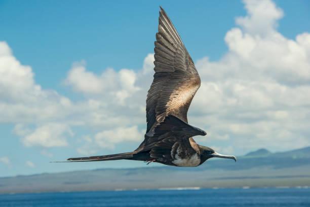 tesourão-grande (fregata minor) às ilhas galápagos - fragata - fotografias e filmes do acervo