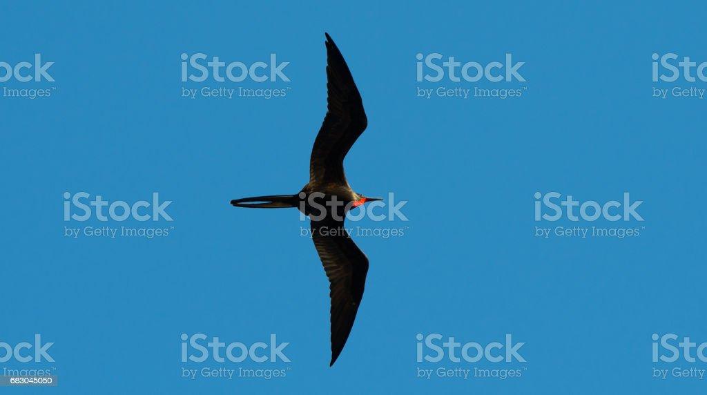 Great frigatebird foto de stock royalty-free